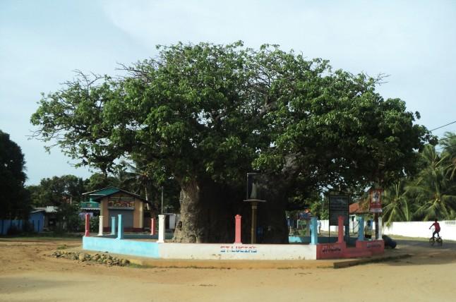 Biobab Tree